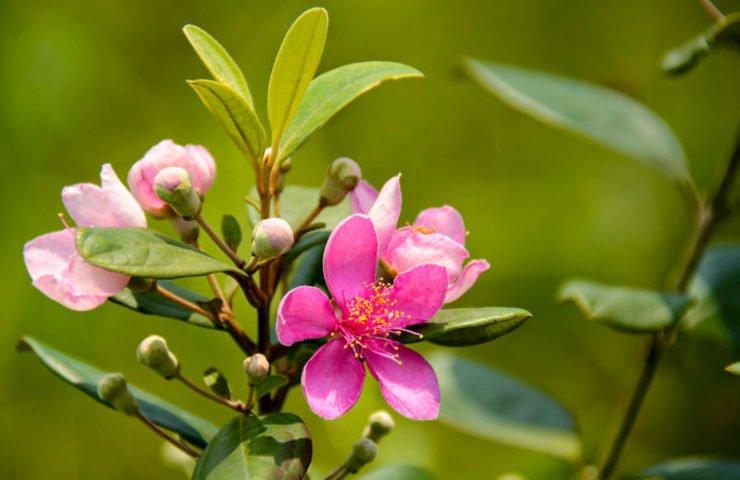 Nguồn gốc xuất xứ hoa sim
