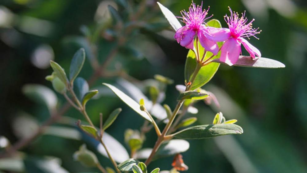 Ý nghĩa của hoa sim tím