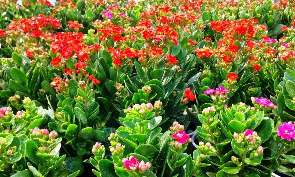 Đặc điểm cây hoa sống đời