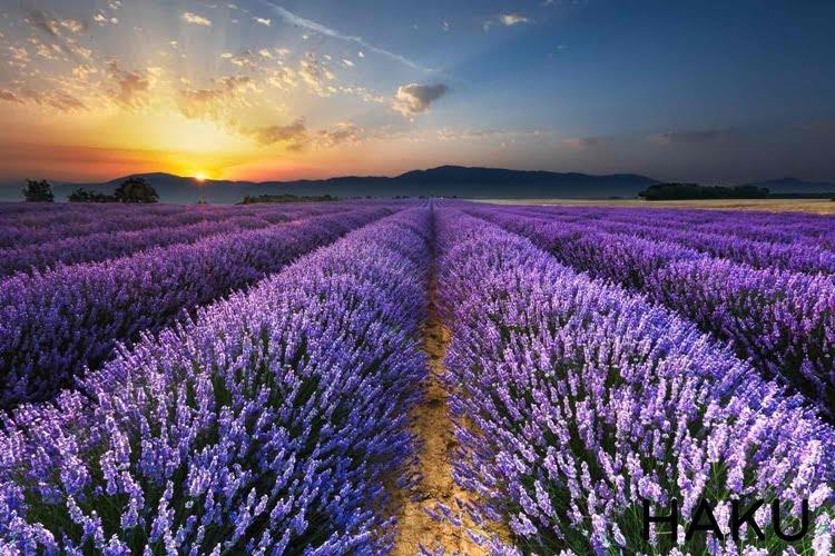 Sự tích về hoa oải hương