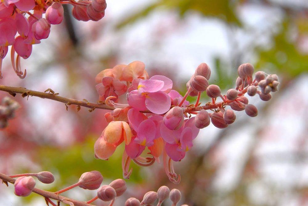 Đặc điểm cây ô môi