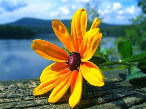 Giới thiệu đôi nét về hoa dã quỳ