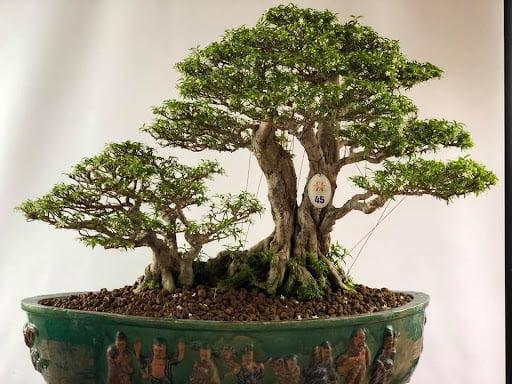 bonsai mai chiếu thủy có giá siêu đắt đỏ