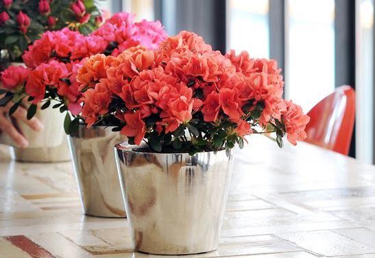 Công dụng đặc biệt của hoa đỗ quyên