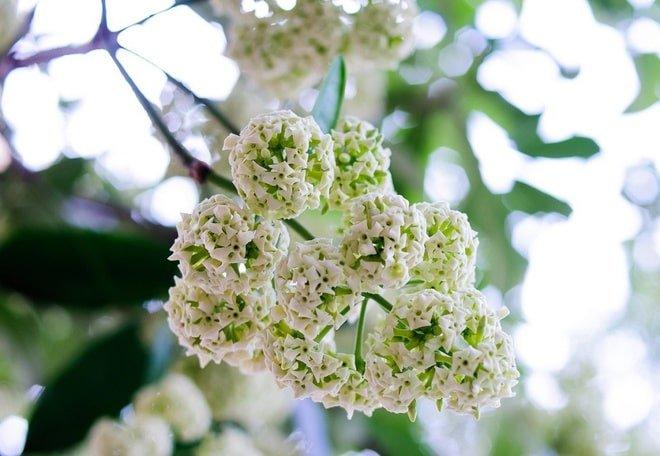 một cây trưởng thành có thể cao đến 20m