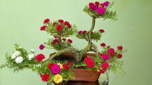 hoa mười giờ bonsai để bàn
