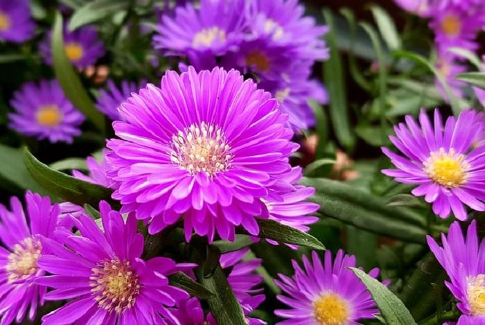 Hoa cúc tím