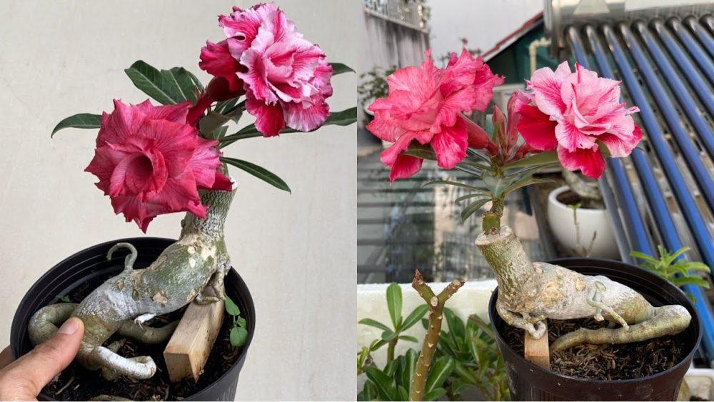 Sứ thái bonsai mini
