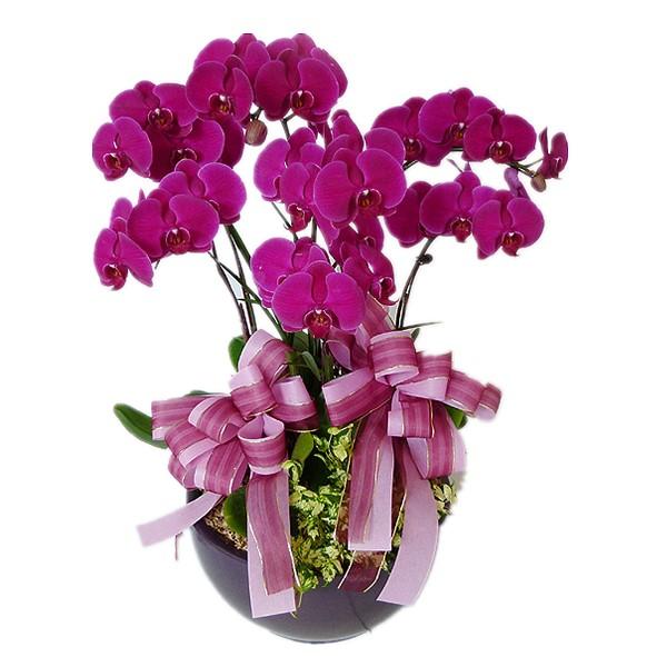 Hoa phong lan dành cho sinh nhật con trai